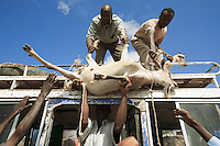 Somaliland. Waqohi Galbed province. Hargeisa. A group of  black muslim men unload from the roof of a publis bus goats to be sold in the market. Somaliland is an unrecognized de facto sovereign state located in the Horn of Africa. Hargeisa is the capital of Somaliland. © 2006 Didier Ruef