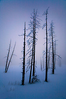 SILICIFIED TREES COME ALIVE AMONGST THE FOG,STEAM AND EARLY MORNING SUNLIGHT AT YELLOWSTONE NATIONAL PARK,WYOMING