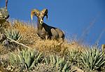 Peninsular bighorn sheep, Anza-Borrego Desert State Park