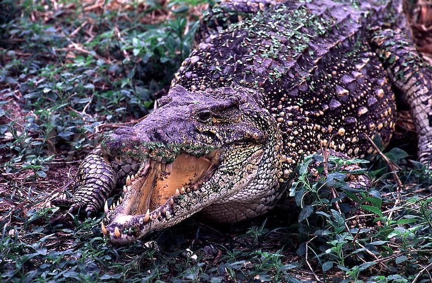 Cuban Crocodile, Crocodylus rhombifer. Cuba.