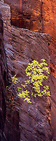 A lone tree emerges from tri-colored canyon sandstone deep in the Narrows of Zion National Park.