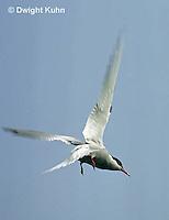 MC59-016z  Arctic Tern - flying above island - Machias Seal Island, Bay of Fundy - Sterna paradisaea