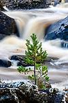 Scots pine sapling (Pinus sylvestris) growing on rocky island. Rogie Falls. Caledonian forest, Reilig Glen, Scottish Highlands. Scotland. October.