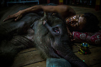 A mahout looks after the sick and weakened orphaned elephant Mi Chaw as they journey to an elephant camp in the hope of finding a foster mother for the calf.