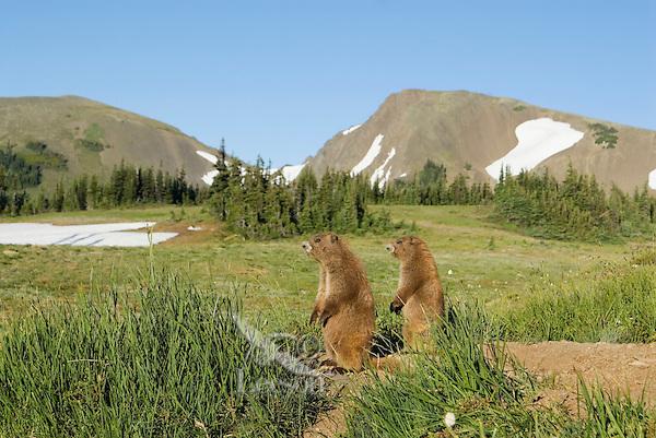 Olympic Marmots (Marmota olympus) in alpine area of Olympic Mountains, Olympic National Park, Washington.  Summer.