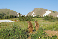 Olympic Marmots (Marmota olympus) in alpine area of Olympic Mountains, Olympic National Park, Washington.  Summer.