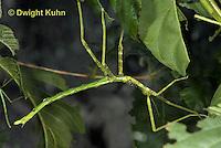 OR07-543z  Walking Stick Insect, juvenile,  Acrophylla wuelfingi