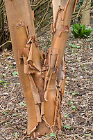 Acer griseum Paper bark tree bark trunk