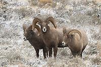 Bighorn Sheep Rams, Grand Teton National Park