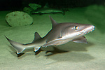 Smooth dogfish swimming right full body 45 degrees to camera