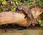 Giant Otter (Pteronura brasiliensis) diving into the Piquiri River, northern Pantanal, Brazil.