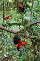 Andean Cock-of-the-rock males {Rupicola peruvianus} at lek in cloud forest canopy. Manu Biosphere Reserve, Amazonia, Peru.
