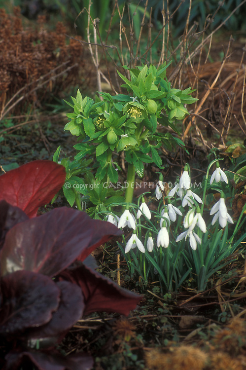 Helleborus cyclophyllus with Bergenia Eric Smith red foliage and Galanthus Atkinsii in winter flowers