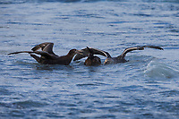 Southern Giant-Petrel (Macronectes giganteus), adult and immature attacking and killing an immature King Penguin (Aptenodytes patagonicus) in Sandy Bay, Macquarie Island, Australia.