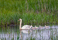 Mute Swan swimming among green reeds with four cygnets swimming behind
