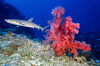 whitetip reef shark, Triaenodon obesus, swimming past a large soft coral, Dendronephthya sp., Osprey Reef, Coral Sea Marine Park, Queensland, Australia, Coral Sea, Pacific Ocean
