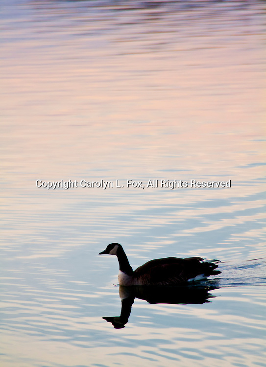 Canadian Geese swim at Lake Remembrance in Blue Springs, Missouri as the sun sets.