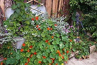 Recycling an old metal container vintage in the garden for edible herb climbing vine Nasturtiums, vines and foliage plants