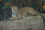 A male jaguar sits on a log at the fork of the Cuiaba and Picuiri Rivers in the Pantanal of Brazil.