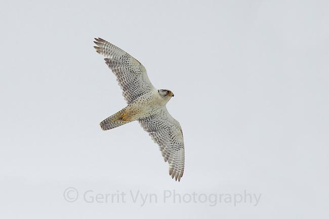 Adult male white-phase Gyrfalcon (Falco rusticolus) in flight. Seward Peninsula, Alaska. June.