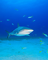 Caribbean Reef Sharks, Carcharhinus perezii, West End, Grand Bahamas, Atlantic Ocean