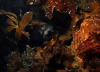 Harbor seal, Phoca vitulina, hiding in benthic kelps, Laminaria sp, Catalina Island, California, USA, Pacific Ocean