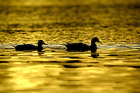 October 10, 2003 :   A flock of  ducks could be seen swimming in Dyes Inlet as the sun set over the brothers mountains putting off a golden glow over the water along Lions Park beach in Bremerton, Washington..