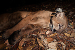 Mountain Lion (Puma concolor) sub-adult male resting under anesthesia after collaring, Santa Cruz Puma Project, Santa Cruz, Monterey Bay, California