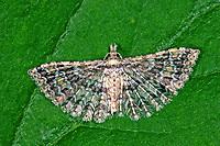 Gelbliches Geissblatt-Geistchen, Gelbliches Geißblatt-Geistchen, Pterotopteryx dodecadactyla, Alucita dodecadactyla, Federgeistchen, Geistchen, Alucitidae