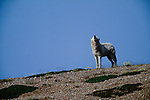 Arctic wolf howling, Yellowknife region, Northwest Territories, Canada