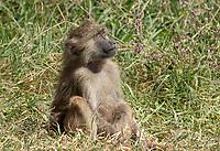 Olive Baboon, Papio anubis, in Ngorongoro Crater, Ngorongoro Conservation Area, Tanzania
