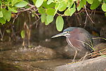 Ding Darling National Wildlife Refuge, Sanibel Island, Florida; a Green Heron (Butorides virescens) bird stands at the water's edge near the mangroves, fishing for food © Matthew Meier Photography, matthewmeierphoto.com All Rights Reserved