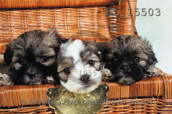 Interlitho, Alberto, ANIMALS, dogs, photos, 3 dogs in basket(KL15503,#A#) Hunde, perros