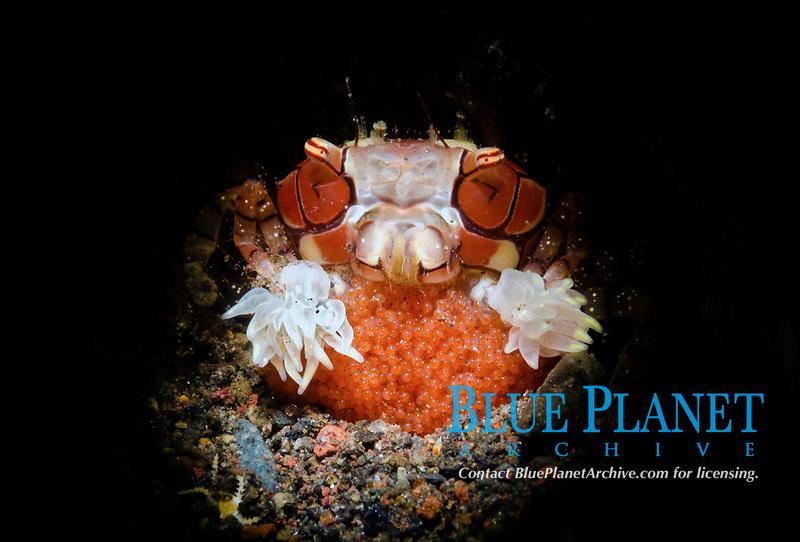 pom-pom crab, or boxer crab, Lybia edmondsoni, female with eggs, Tulamben, Bali, Indonesia, Pacific Ocean