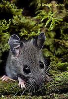 MU29-054z   White-footed Mouse - Oerimyscus maniculatus