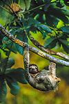 Three-Toed Tree Sloth, Islas Bocas del Toro, Panama
