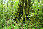 Buttress root in tropical rainforest, Kibale National Park, western Uganda