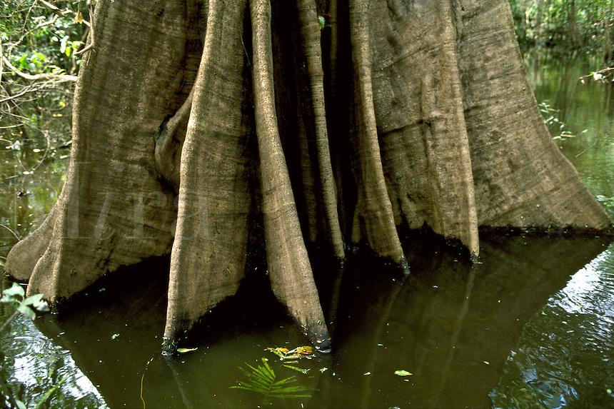 Buttreses of Urucurana tree in swamp forest (mata de igapo) in Mamiraua reserve in Amazon region, Brazil.