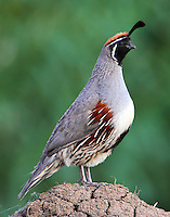 Adult male Gambel's quail. This bird and its mate were shepherding a group of about ten babies. When not feeding the birds were lined up with an adult at each end of the line of babies.