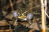 Seefrosch, See-Frosch,  rufend mit seitlichen Schallblasen, Pelophylax ridibundus, Rana ridibunda, Grünfrosch, Frosch, Frösche, Marsh Frog