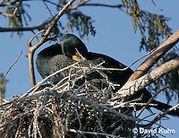 0111-0975  Double-crested Cormorant Sitting on Nest, Phalacrocorax auritus  © David Kuhn/Dwight Kuhn Photography.