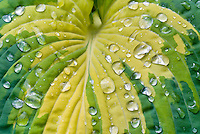 Hosta Great Expectations with dew drops water rain closeup