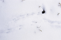 Wühlmaus Gang und Loch und Fährte, Pfotenabdrücke im Schnee, Maus, Mäuseloch