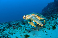 Loggerhead Sea Turtle (Caretta caretta) in Palm Beach County, Florida, USA, Atlantic Ocean Florida is home to half of the world's population, and Palm Beach County is a major nesting location.