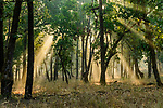 Early morning shafts of sunlight through sal (Shorea robusta) forest. Bandhavgarh National Park, Madhya Pradesh, Central India.