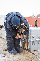 2008 All Alaska Sweepstakes 100 year commemorative sled dog race dog staging area. Fred Napoka puts booties on dogs.