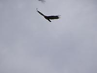 Turkey Vulture coming into range over Cold Lake Alberta.