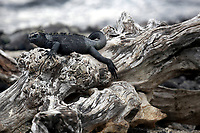 A marine iguana, found only on the Galapagos Islands, lounges on a a piece of driftwood on Fernandina Island. The marine iguana is the only modern lizard that lives and forages in the sea and its primary food source is marine algae. Because they have to rid their bodies of excess salt, one can often see marine iguanas making a sort of sneezing sound and expelling water and salt from their noses.