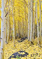 Grove of aspen trees