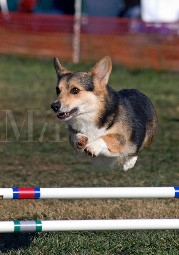 Welsh Corgi jumping during an agility competition in Leesburg, VA
